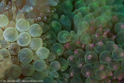 BD-161028-Pura-3457-Entacmaea-quadricolor-(Leuckart-in-Rüppell---Leuckart.-1828)-[Bubble-tip-anemone].jpg